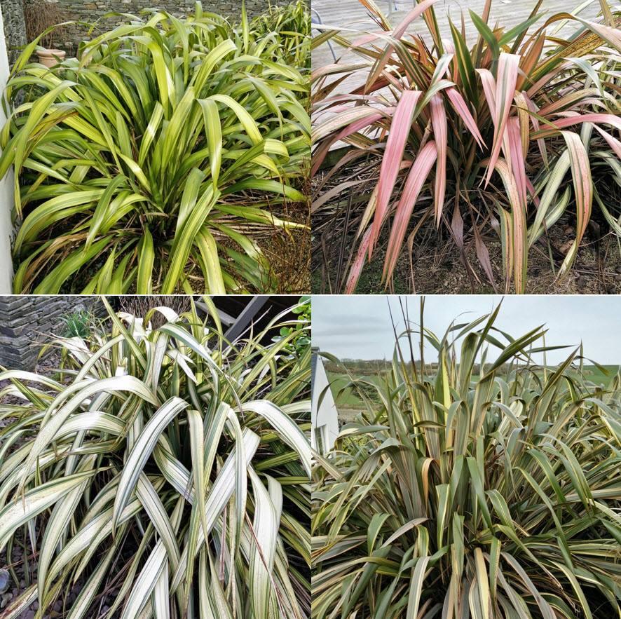 New Zealand Flax (Phormium)