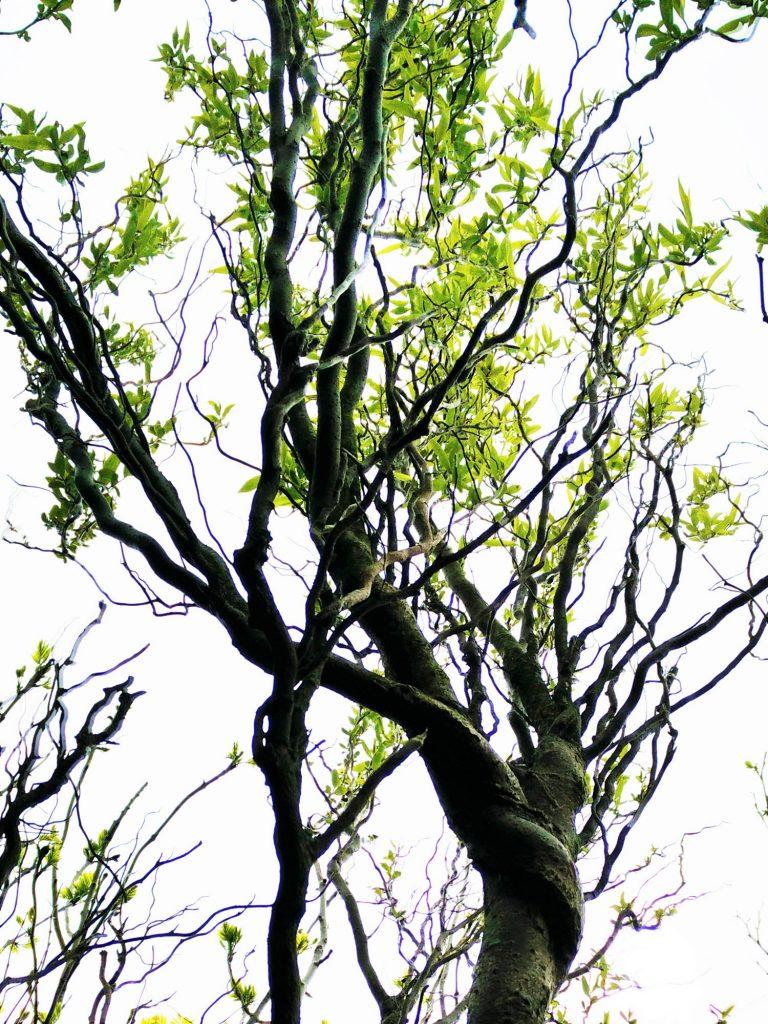 Corkscrew Willow (Ballynoe House Woodland Trail)