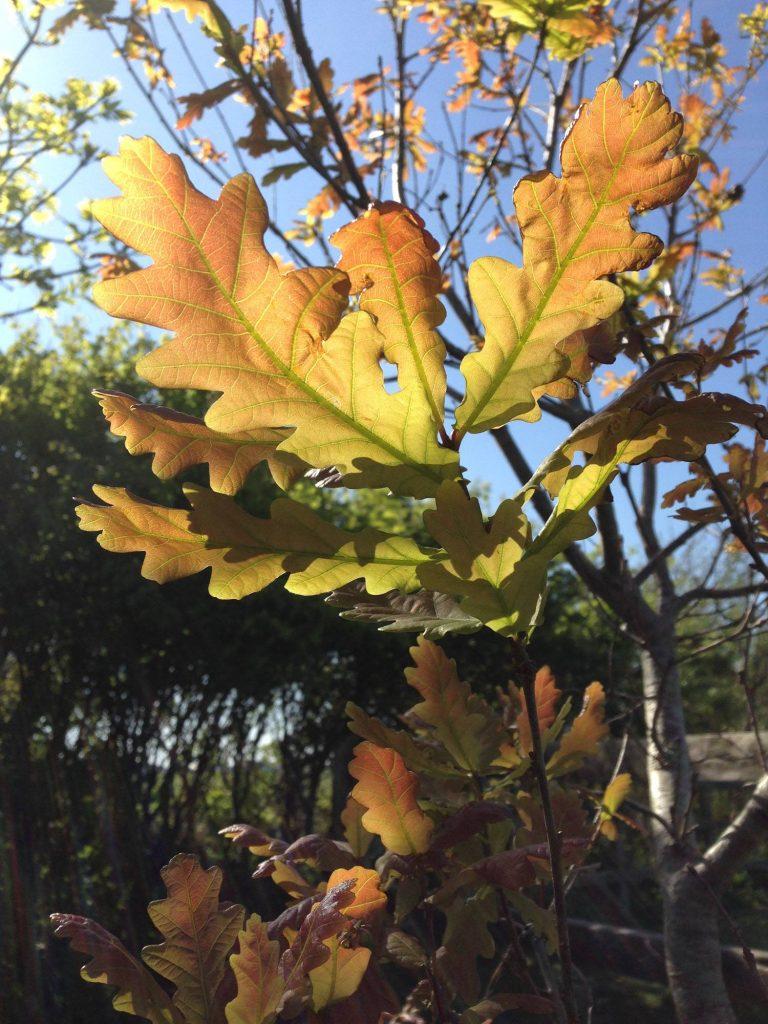 Sunlight through new oak leaves (Ballynoe House Woodland Trail)