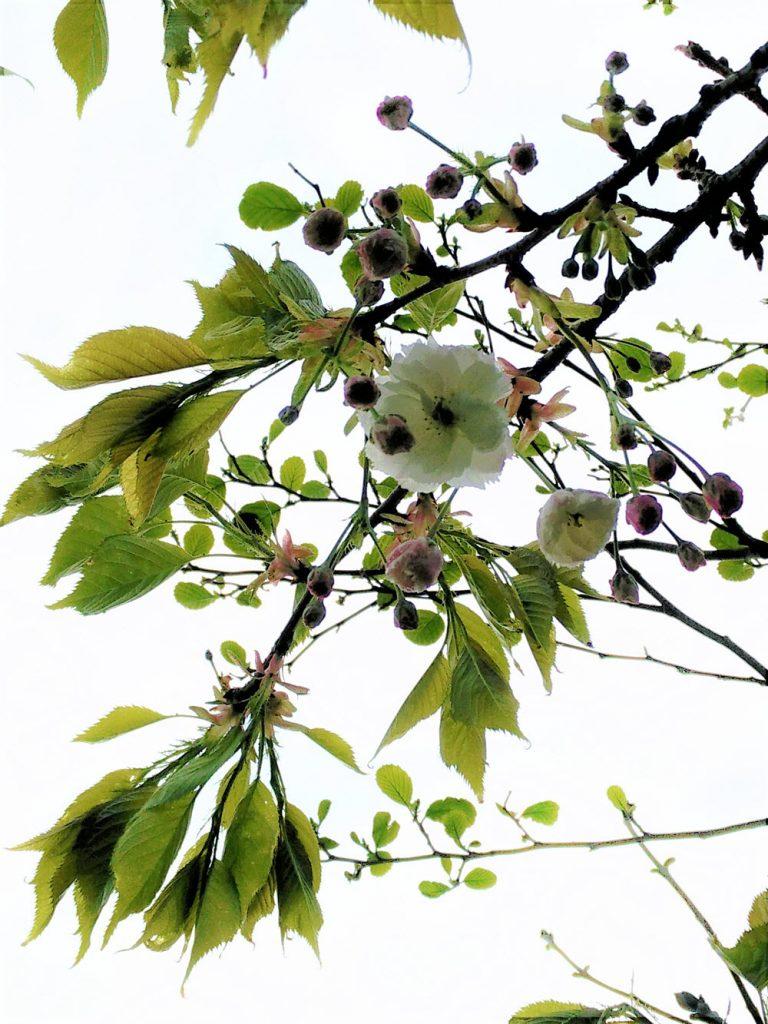 White Japanese Cherry (Ballynoe House Woodland Trail)