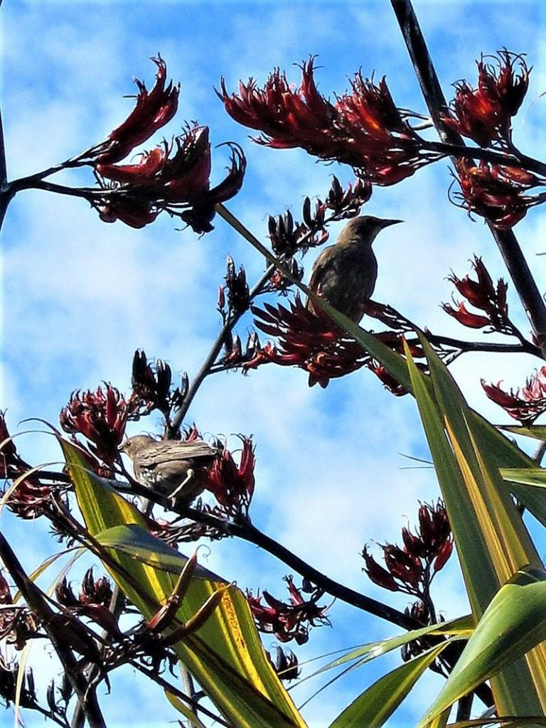 Young starling on the phormium