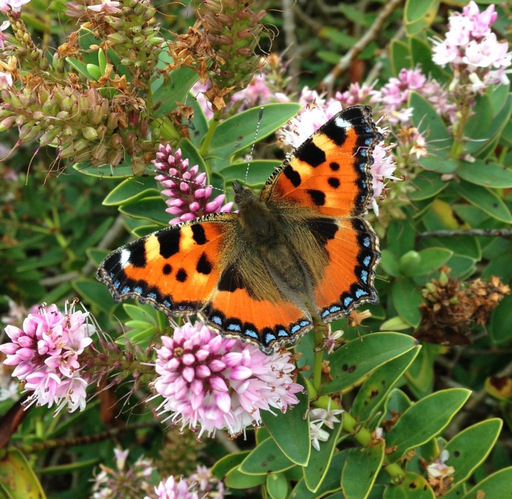 Tortoiseshell butterfly on hebe