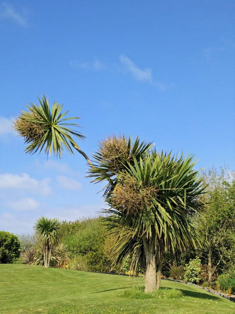 """Bird Bird"" is a cordyline at Ballynoe House"