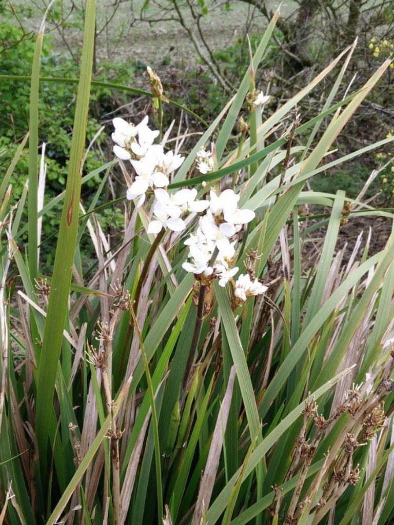 New Zealand Butterfly Iris