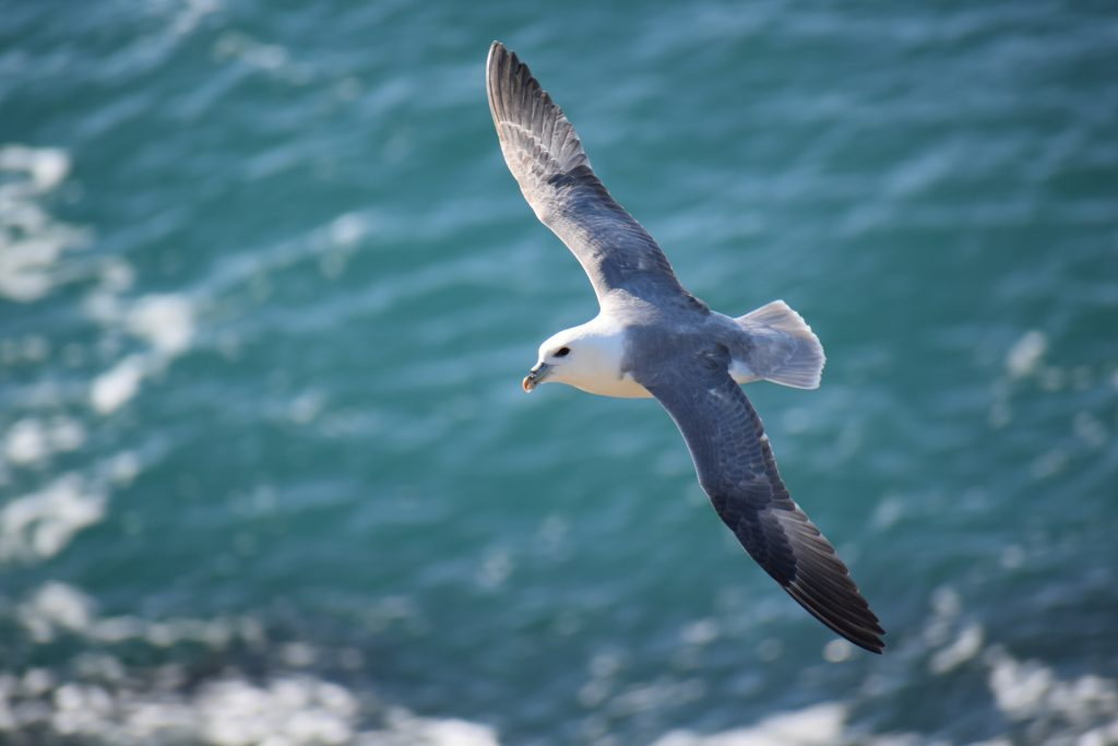 Observing seabirds from the clifftops at Keameen Point