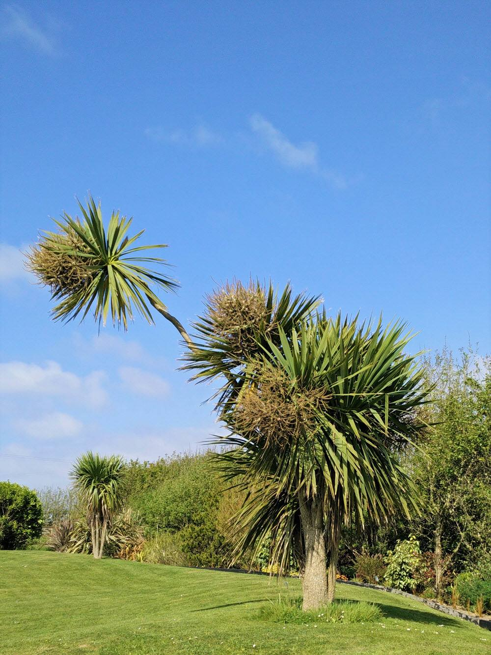 Big Bird (Cordyline Australis) at Ballynoe House