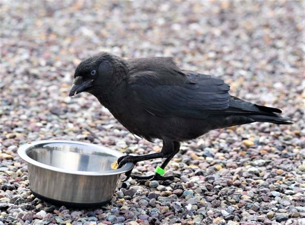 Kevin the Jackdaw Enjoying some Cat Food